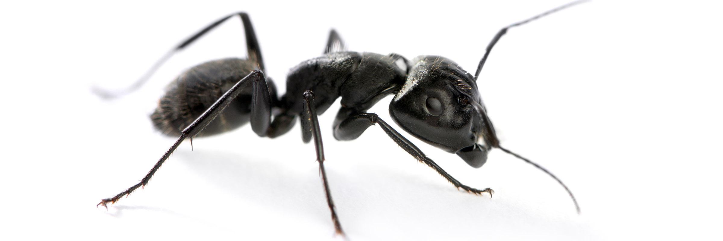 Ant c