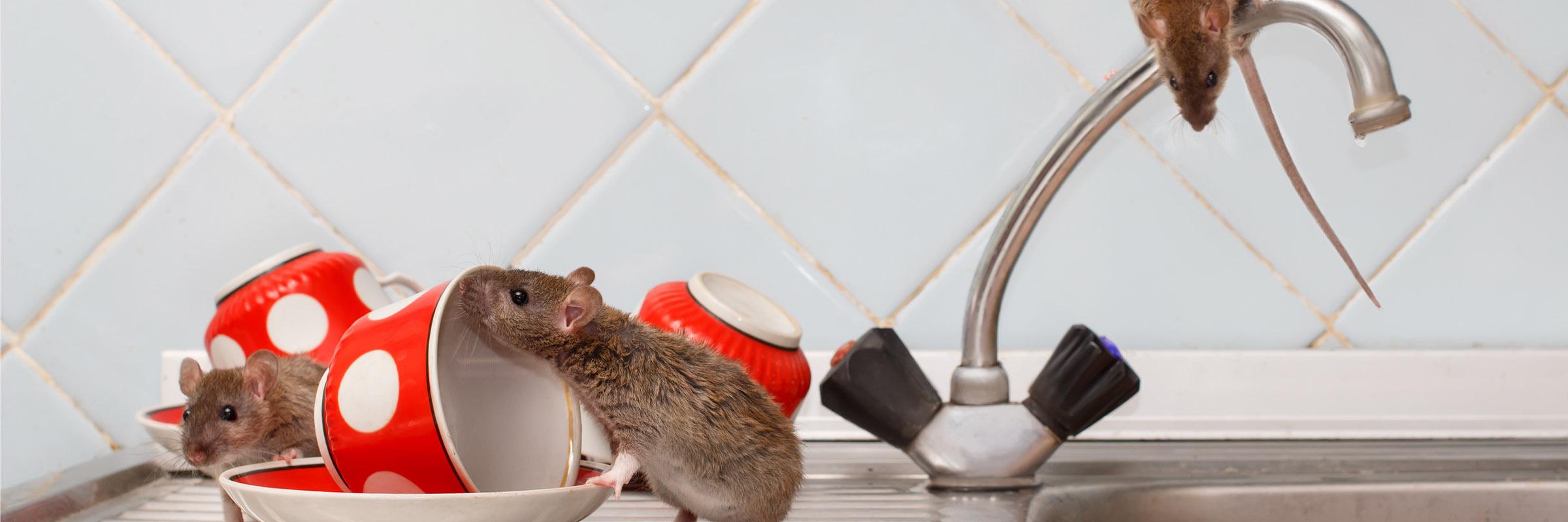 Rats c
